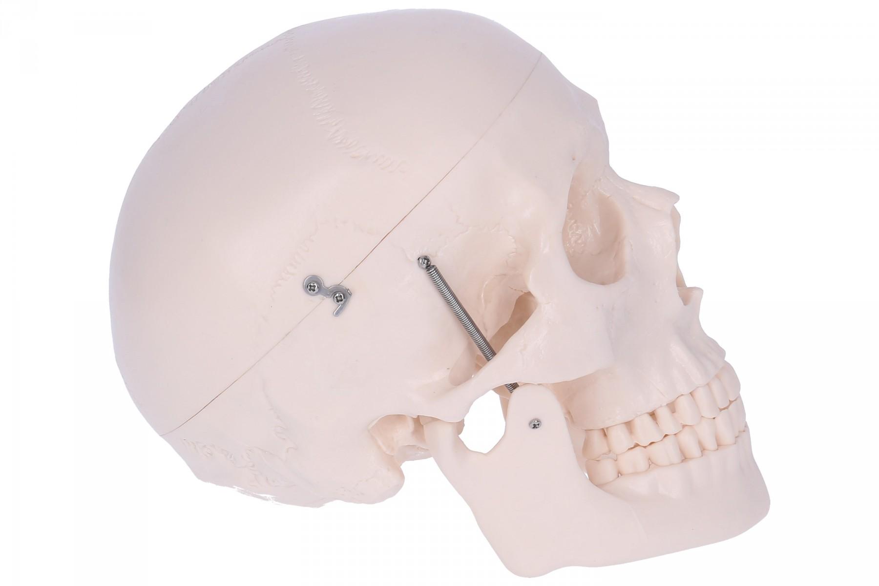 Schädelmodell mit Gehirn