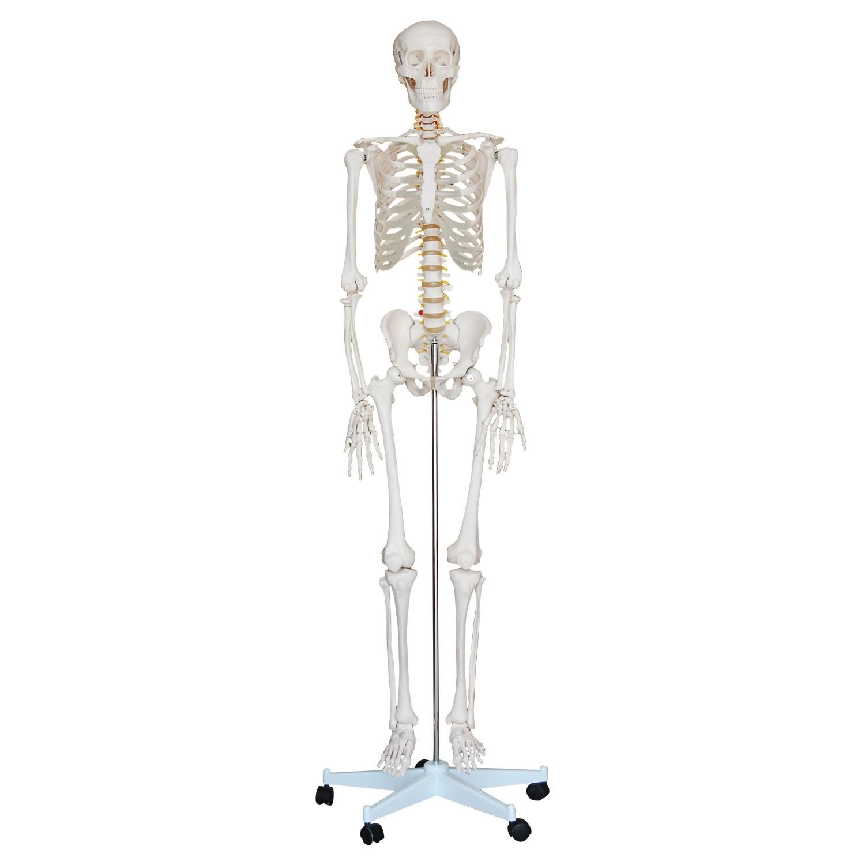 Skelett Modell lebensgroß 180cm kaufen | Anatomy Online