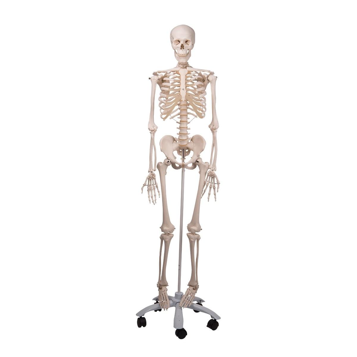 Skelett Stan