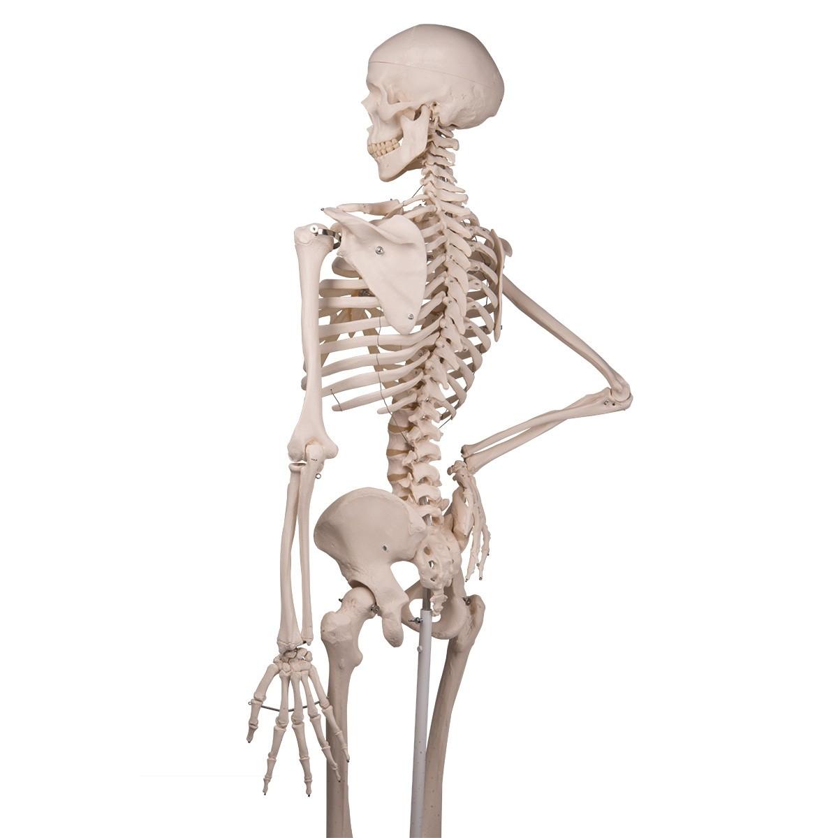 Skelett Stan | Skelett Modell | 170cm | mit Rollenständer