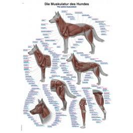"""Lehrtafel """"Die Muskulatur des Hundes"""""""