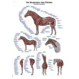 """Lehrtafel """"Die Muskulatur des Pferdes"""""""