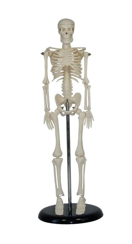 Mini Skelett Modell