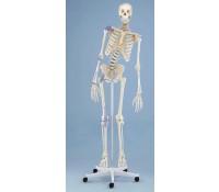 "Skelett Modell ""Toni"" beweglich, mit Bandapparat"