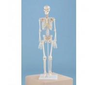 """Miniatur Skelett Modell """"Patrick"""""""