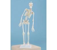 """Miniatur Skelett Modell """"Paul"""" mit beweglicher Wirbelsäule"""