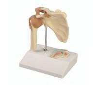 Mini-Schultergelenkmodell mit Querschnitt