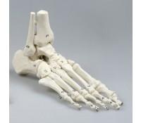 Fuß Skelett nummeriert