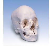 Schädelmodell Steckschädel