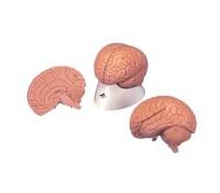 Einsteiger-Gehirn, 2-teilig