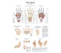 """Lehrtafel """"Die Hand"""""""