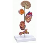 Bluthochdruckmodell