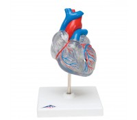 Klassik-Herz mit Reizleitungssystem, 2 teilig