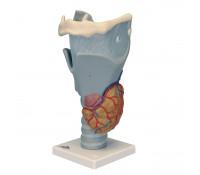 Funktions-Kehlkopf, 2,5-fache Größe