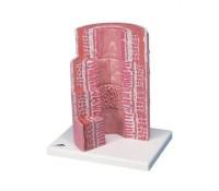 3B MICROanatomy™ Verdauungstrakt - 20-fache Vergrößerung
