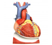 Herz auf Zwerchfell, 3-fache Größe, 10-teilig