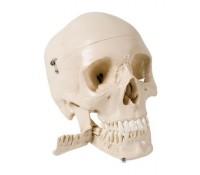Schädel mit Zähnen zum Extrahieren, 4-teilig