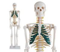 Skelett Modell mit Spinalnerven