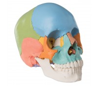 Osteopathie Schädelmodell - Didaktische Version