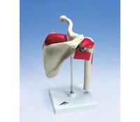 Sport-Schulter