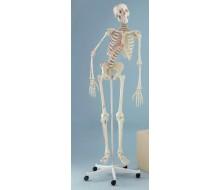 """Skelett Modell """"Peter"""", beweglich, mit Muskelmarkierungen"""