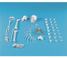 Halbskelett, unmontiert (Knochensammlung)