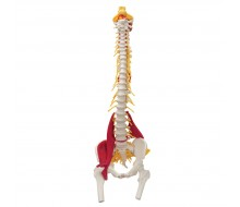 Muskel Wirbelsäulen Modell