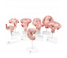 3B Scientific® Schwangerschaftsserie, 9 Modelle
