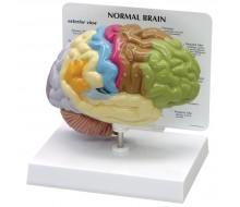 Gehirnmodell