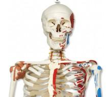 Luxus Skelett Modell Sam, auf Hängestativ mit 5 Rollen