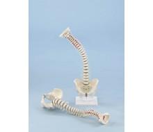 Wirbelsäule Modell - extra flexibel