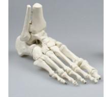 Fuß Skelett mit Unterschenkelansatz