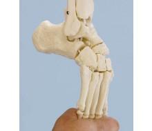 Fußskelett, sehr flexibel