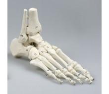 Fußskelett mit Schien- und Wadenbeinansatz, flexibel, nummeriert