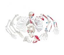 Skelett mit Muskeldarstellung, unmontiert