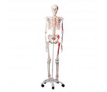 3B Klassik-Skelett Max mit Muskeldarstellung, auf 5-Fuß-Rollenstativ