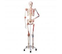 3B Luxus Skelett Sam mit 5-Fuß-Rollenstativ A13 für Ihre medizische Ausbildung