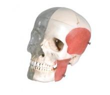 BONElike™ Schädel - Kombischädel Transparent/Knochen, 8-teilig