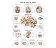 """Lehrtafel """"Das menschliche Gehirn"""" (deutsch)"""