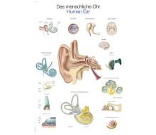 """Lehrtafel """"Das menschliche Ohr"""""""