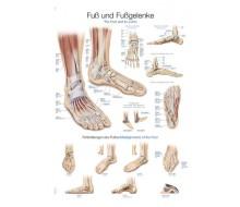 """Lehrtafel """"Fuß und Fußgelenke"""""""