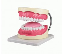 Zahnpflegemodell, 3-fache Größe