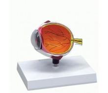 Augenhälfte, vergrößert