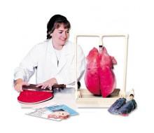 Lungen- Demonstrationsmodell