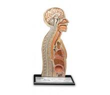 Nasen-Magensonden-Modell