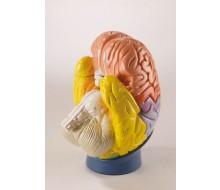 Modell der Gehirnregionen, 4-teilig, 2-fache Größe