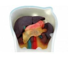 Ultraschall-Modell für Sonografie