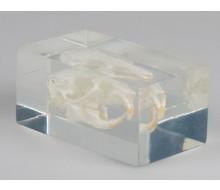 Meerschweinchenschädel in Kunststoffblock