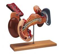 Innere Organe, 2-teilig