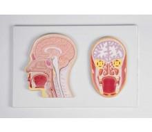 Frontal- und Medianschnitt des Kopfes (Reliefmodell) 1